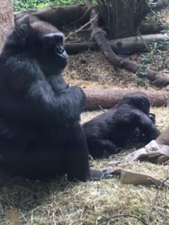 gorilla one