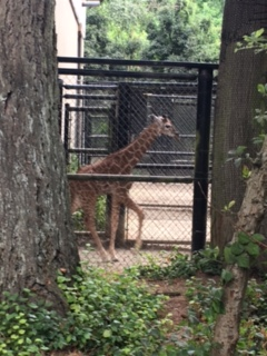 lulu giraffe